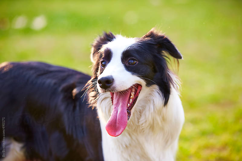 one adult border collie outdoor  by Bo Bo for Stocksy United