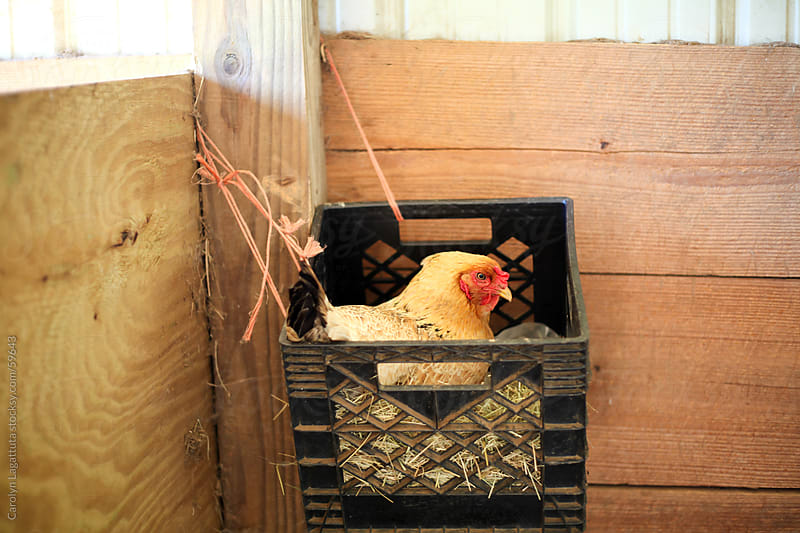 Chicken sitting on eggs in a plastic crate by Carolyn Lagattuta for Stocksy United