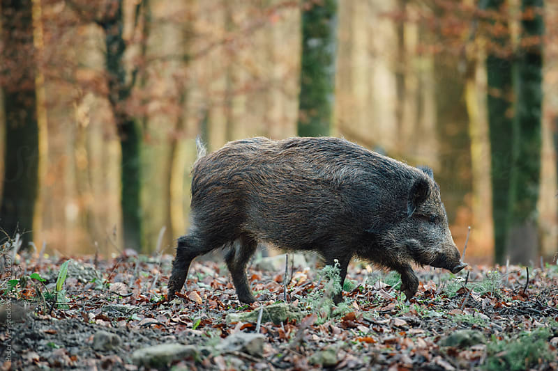 Wild boar by Peter Wey for Stocksy United