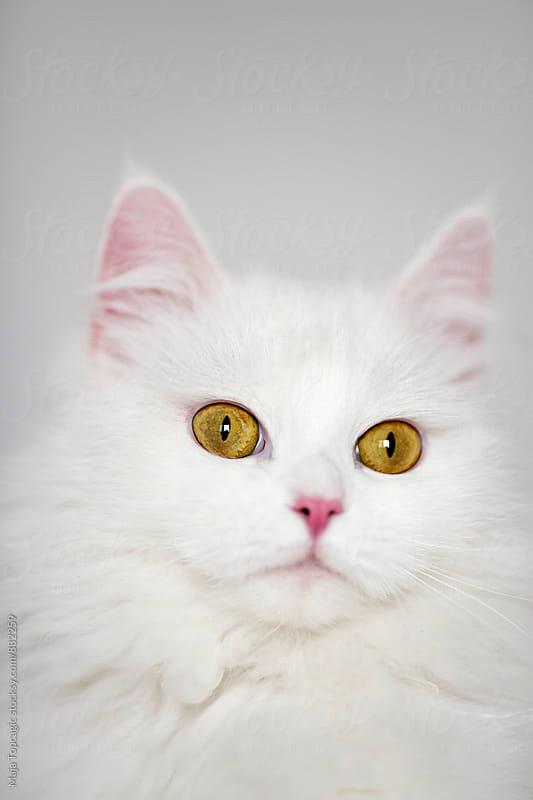 Little beautiful persian cat indoors by Maja Topcagic for Stocksy United