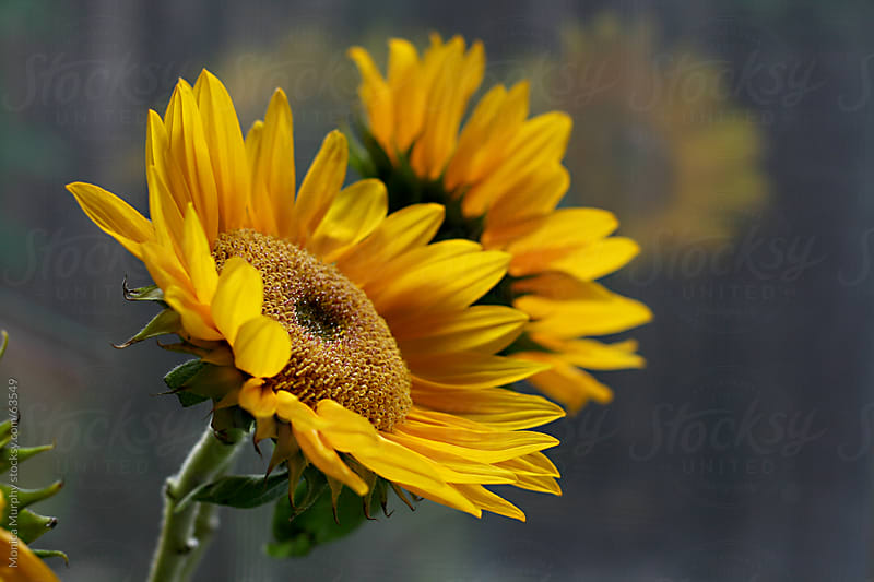 Yellow Sunflowers with reflection in window by Monica Murphy for Stocksy United