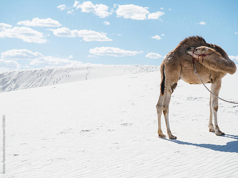 Camel standing in white sand dune, new mexico by Jeremy Pawlowski for Stocksy United