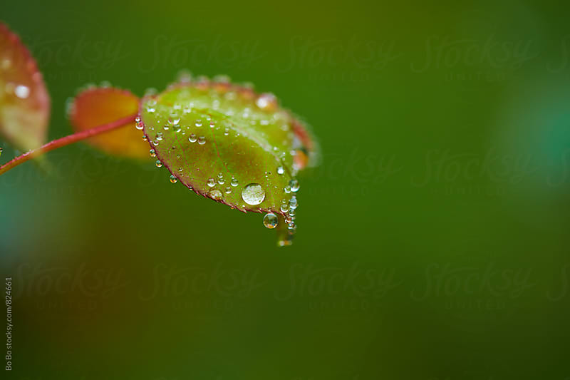 close up of dew on leaf by Bo Bo for Stocksy United
