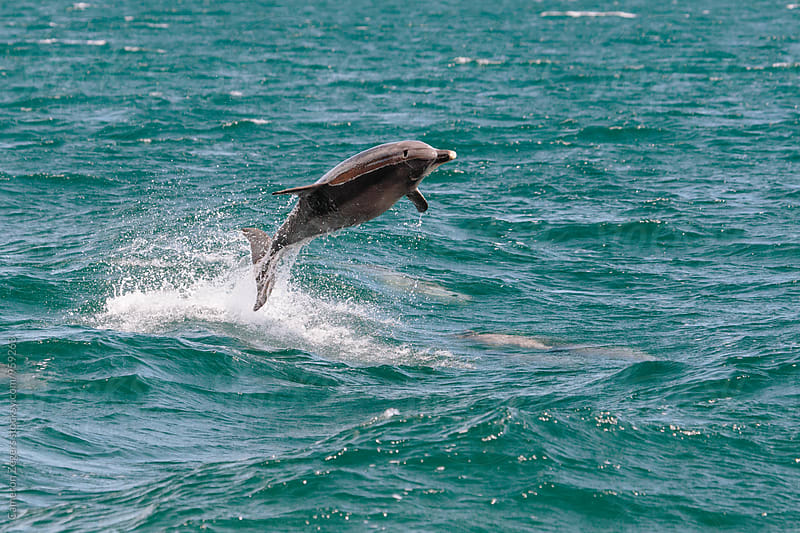 dolphin leaping by Cameron Zegers for Stocksy United