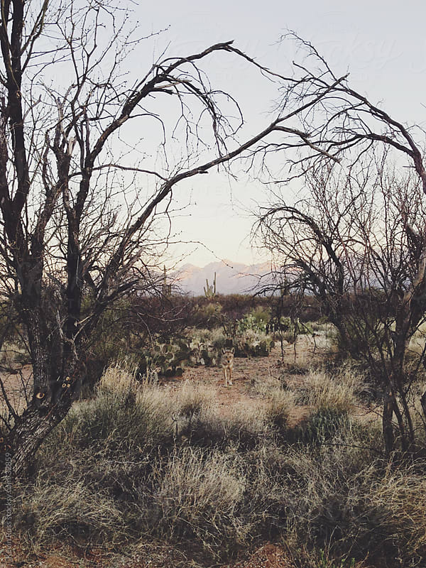 Coyote Under Desert Tree Canopy by Kevin Russ for Stocksy United