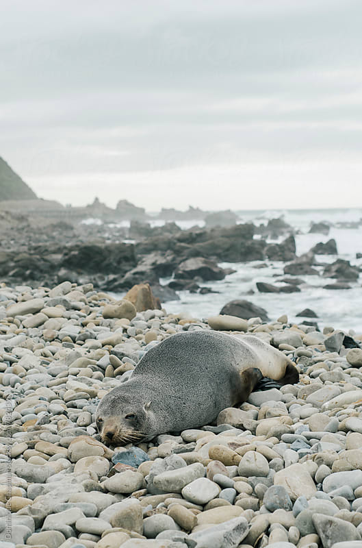 Seal resting on rocks by ocean by Dominique Chapman for Stocksy United