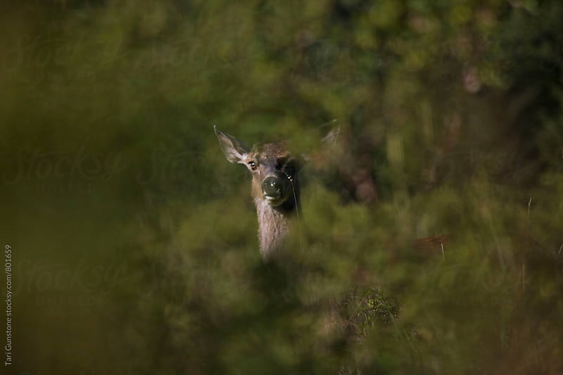 Deer looking through shrubbery by Tari Gunstone for Stocksy United
