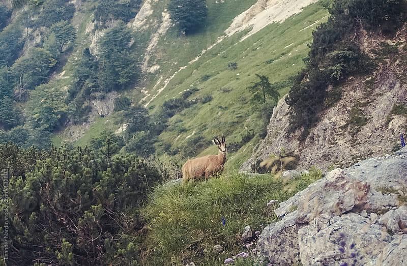 alpine chamois in the austrian alps by Leander Nardin for Stocksy United