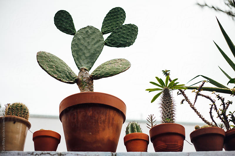 Row of Cacti in Pots by Kara Riley for Stocksy United