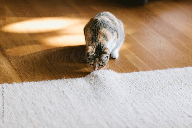 Cat checking what is under the carpet in sunny living room by Laura Stolfi for Stocksy United