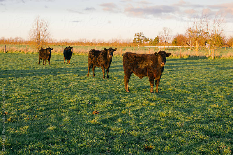 Four black steers in a green field by Gary Radler Photography for Stocksy United