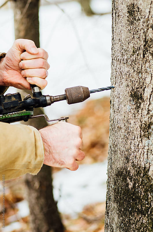 man drilling for sap in a maple tree by Deirdre Malfatto for Stocksy United