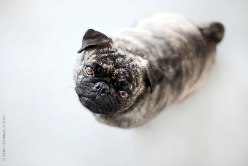 Brindle pug looks up at camera by Cara Dolan for Stocksy United