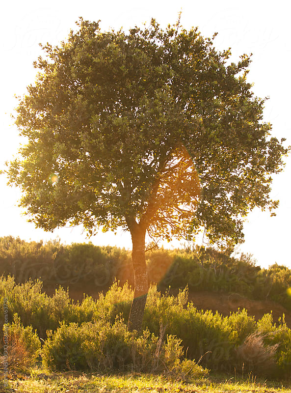 Beautiful landscape image with tree at sunset. by BONNINSTUDIO for Stocksy United
