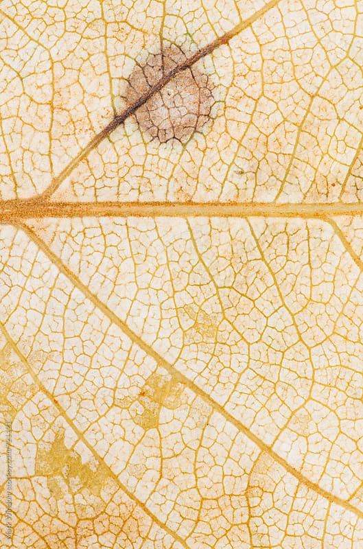 Cottonwood leaf patterns, closeup by Mark Windom for Stocksy United
