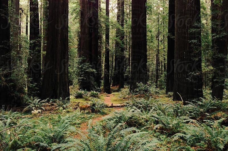 Deer in Reedwoods by Kevin Russ for Stocksy United