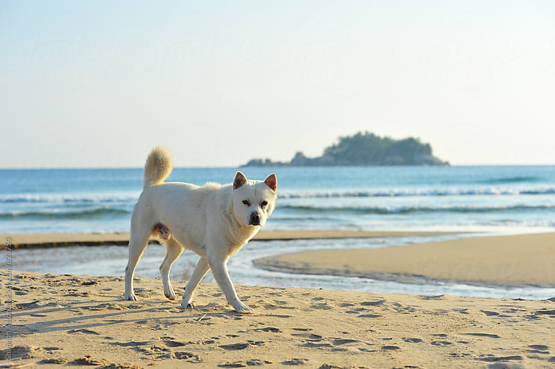 Korean Jindo dogs playing near DMZ, in Korea by Shannon Aston for Stocksy United