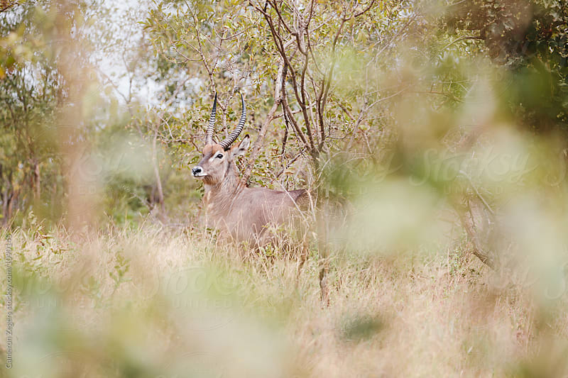 water buck standing in Tanzania by Cameron Zegers for Stocksy United