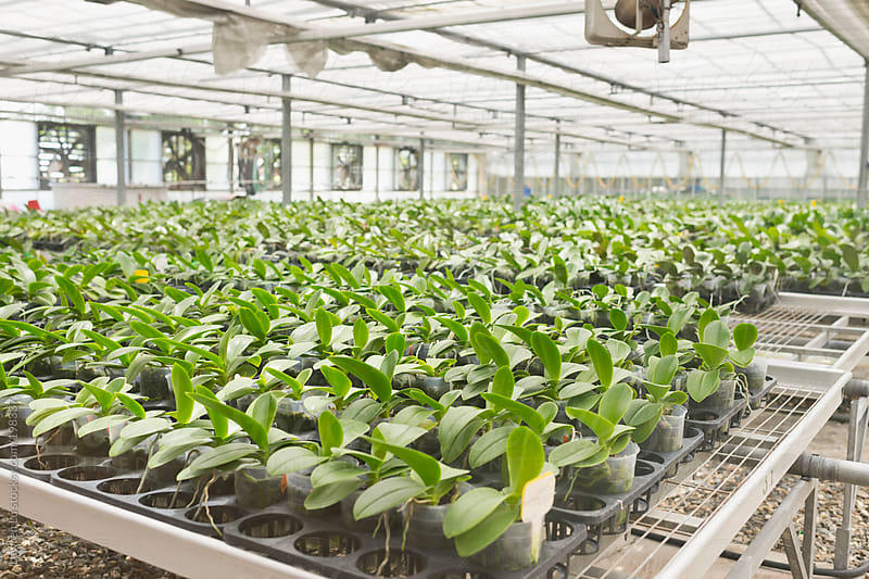 Orchid seedlings in greenhouse  by Lawren Lu for Stocksy United