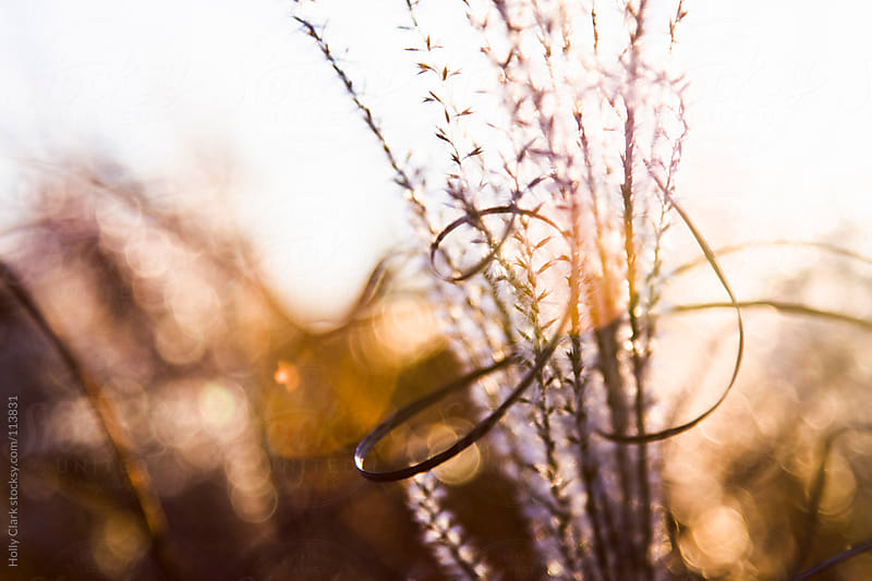 Autumn grass abstract at sunset by Holly Clark for Stocksy United