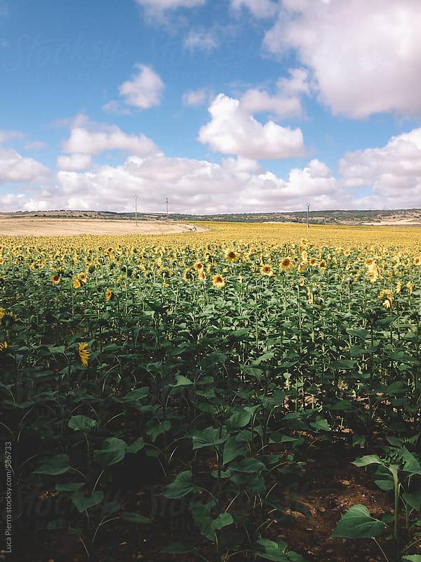 Sunflowers in a field, Spain by Luca Pierro for Stocksy United