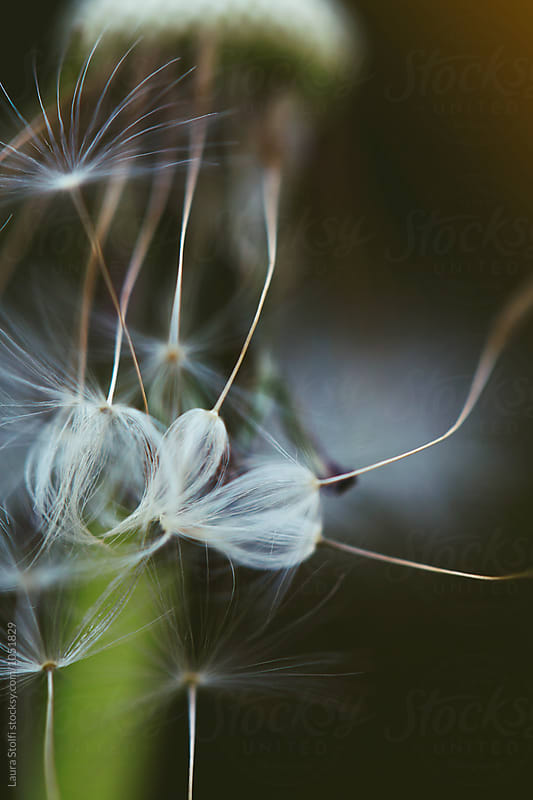 Many dandelion seeds hanging from the plant by Laura Stolfi for Stocksy United