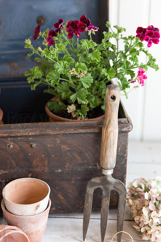 Pelargonium in a metal chest with gardening equipment by Helen Rushbrook for Stocksy United