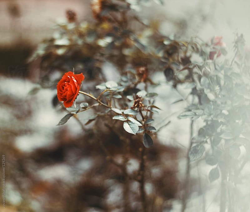 Red rose in the garden by Jovana Rikalo for Stocksy United