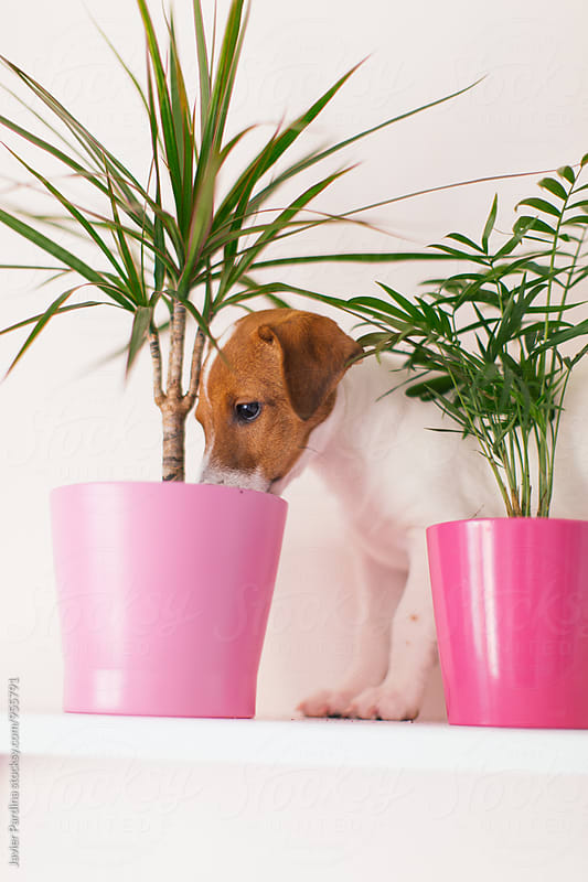 Jack Russell smelling a plant by Javier Pardina for Stocksy United