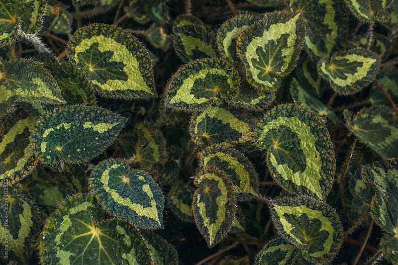 Begonia leaves by Sasha Evory for Stocksy United