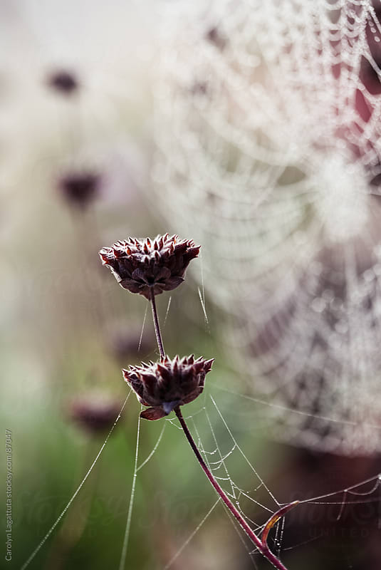 Dewy web behind some wild lavender by Carolyn Lagattuta for Stocksy United