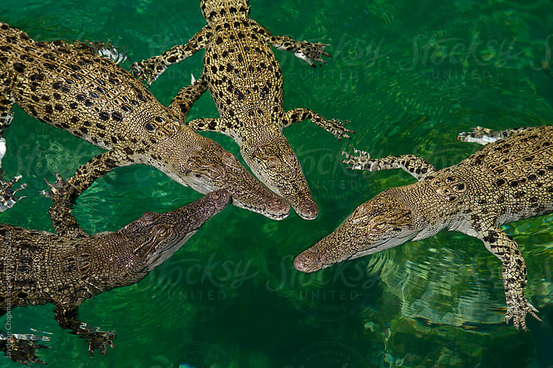 Young Australian saltwater crocodiles floating together in shallow waters by Jaydene Chapman for Stocksy United