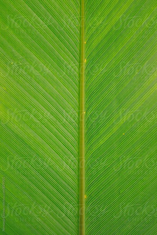 Tropical Green Leaf Texture by Nemanja Glumac for Stocksy United