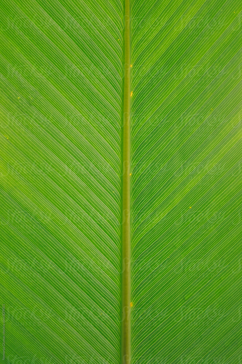 Tropical Green Leaf Texture By Nemanja Glumac Stocksy United Download the perfect leaf texture pictures. tropical green leaf texture by nemanja
