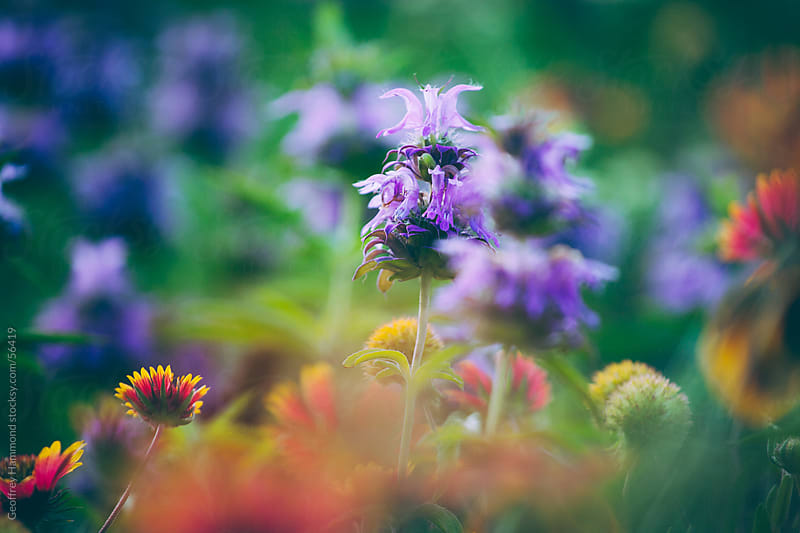 Central Texas Wildflowers, Focus on Purple Horsemint and Firewheel by Geoffrey Hammond for Stocksy United