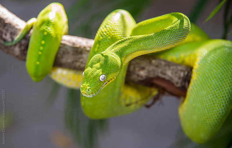 Green snake, Australia  by Jaydene Chapman for Stocksy United