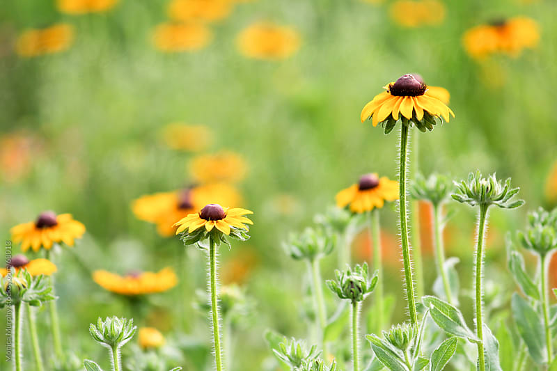 Field of Black Eyed Susans by Monica Murphy for Stocksy United