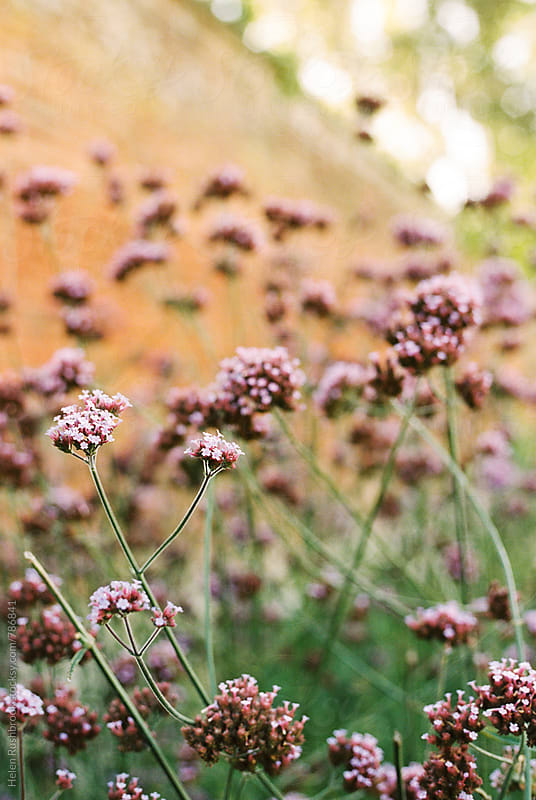 Verbena growing in front of a garden wall. by Helen Rushbrook for Stocksy United