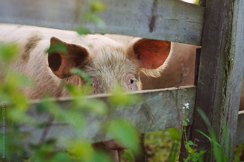 Pig looking through wooden fence by Boris Jovanovic for Stocksy United