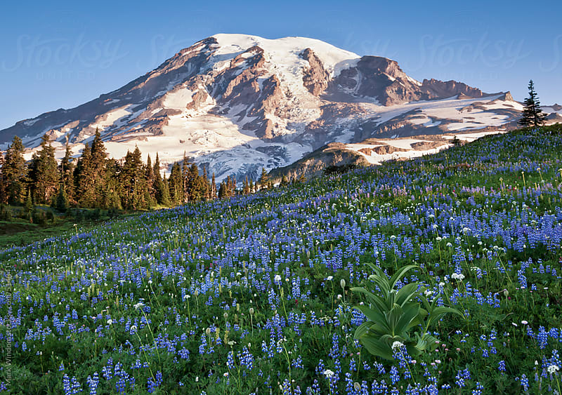 Mount Rainier and alpine meadow in summer by Mark Windom for Stocksy United