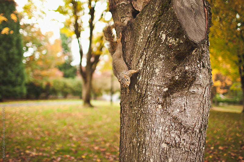 Squirrel Climbing Down Tree by Kevin Gilgan for Stocksy United