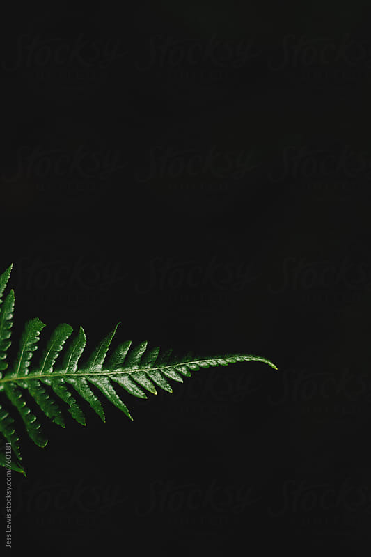 fern leaf against dark background by Jess Lewis for Stocksy United