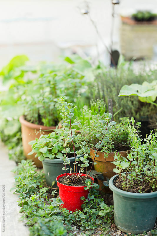 Many aromatic plants in pots in sunny garden by Laura Stolfi for Stocksy United