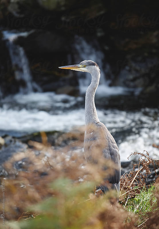 Grey Heron. Wales, UK by Liam Grant for Stocksy United