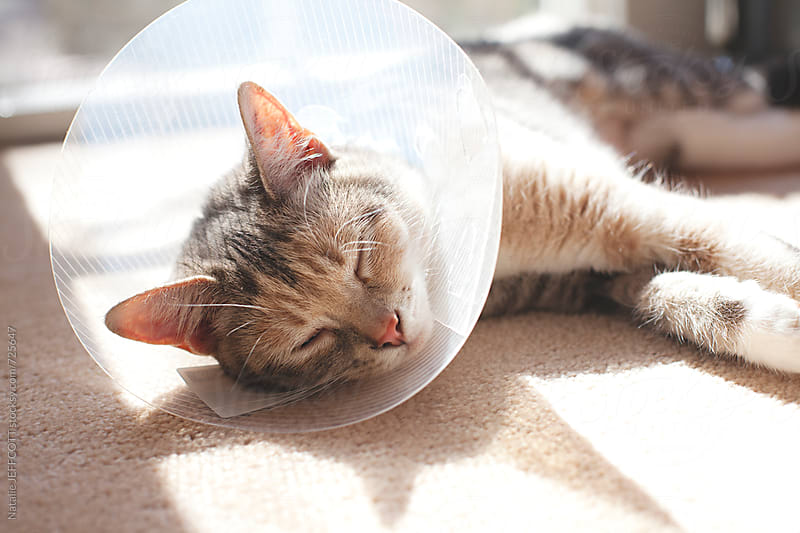 A sick cat sleeps in the sunlight with Elizabethan plastic collar by Natalie JEFFCOTT for Stocksy United