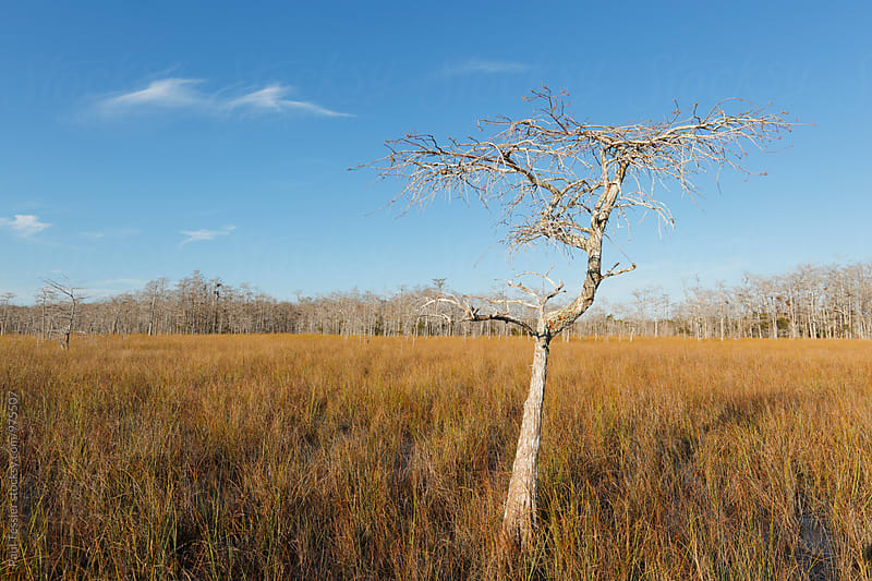 Cypress in Big Cypress National Preserve by Paul Tessier for Stocksy United