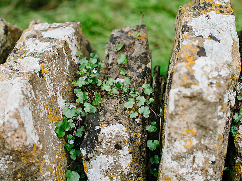 Vine growing in Cracks of Dry Stone Wall by Gary Radler Photography for Stocksy United