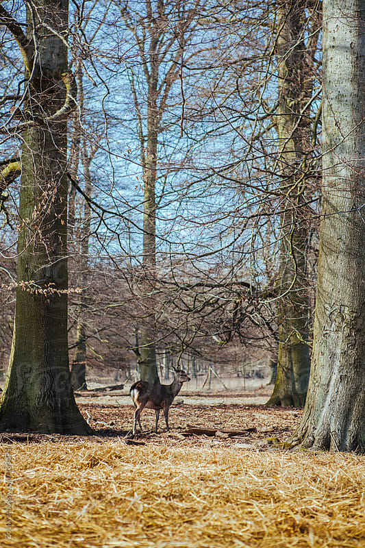 Fallow Deer in the Woods by Zocky for Stocksy United