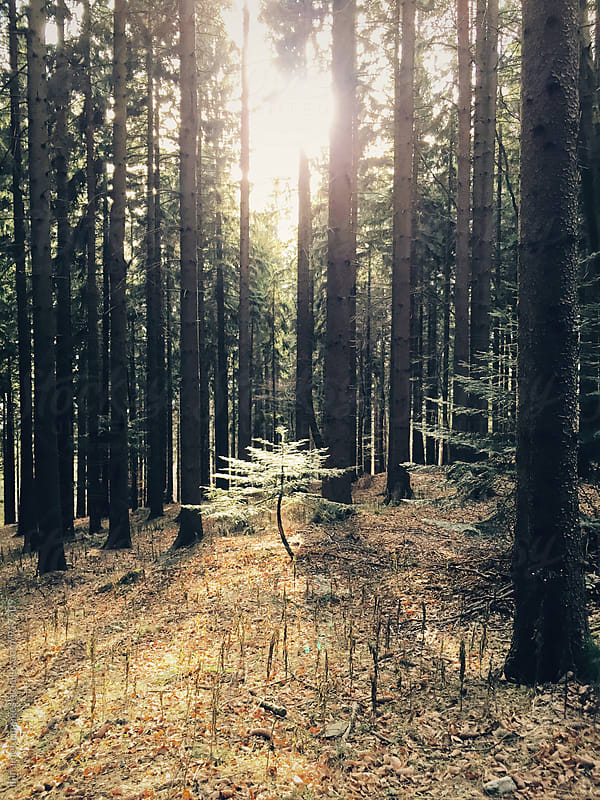 Trees in forest by minamoto images for Stocksy United
