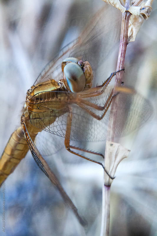Golden dragonfly perched on a dead branch by ACALU Studio for Stocksy United